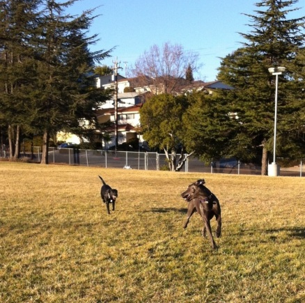 great dane and lab playing