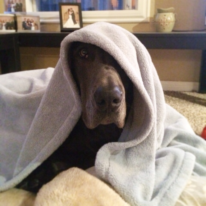 great dane jedi