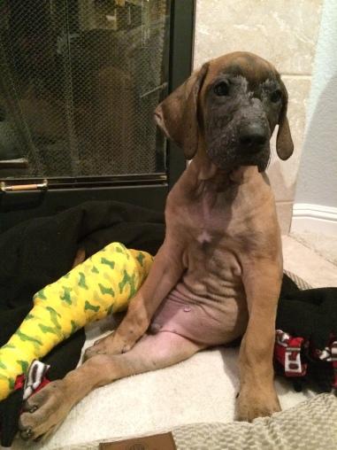 great dane broken leg